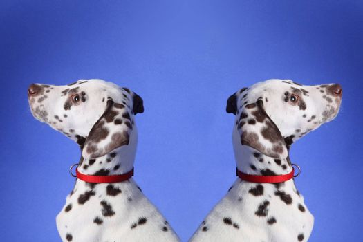 Dalmation puppy on blue background. Shot in studio.