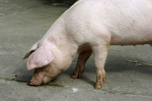 Loose young pig on a farm. Shot outdoor