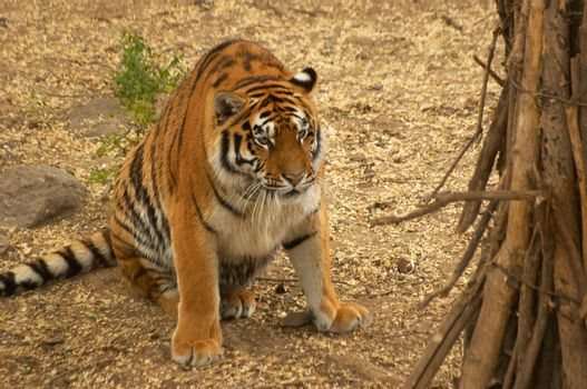 The tiger has woken up in a zoo open-air cage