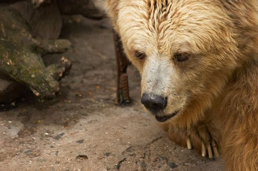 The Himalaya bear in a zoo open-air cage