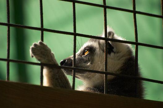 The lemur in bondage behind a lattice basks in the sun