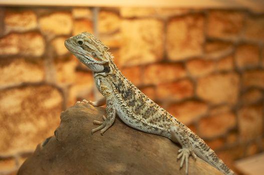 The small lizard in a terrarium is heated under a lamp