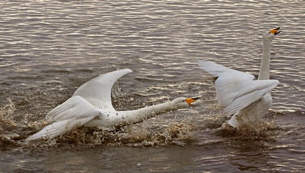A Swan showing aggression