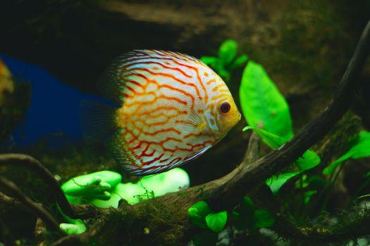 Orange discus fish in aquarium (close-up photo)