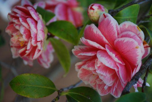Pink Camellias bloom