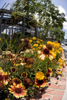California Sunflowers on a sidewalk