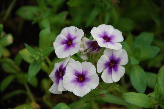 Purple Geranium