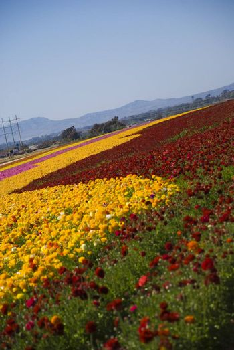 Ranunculus Flower Field