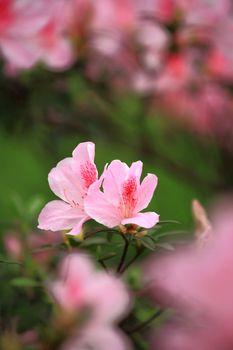 flower, rhododendron