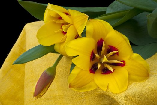 Yellow tulips rely more on canvas Indian yellow with black background