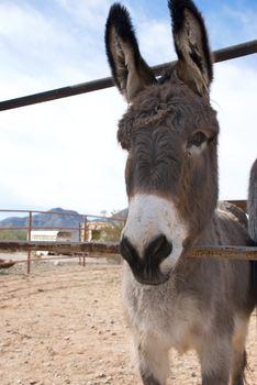 Donkey Peering Through Fencing