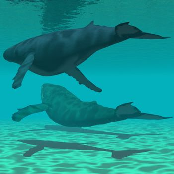 Two Humpback whales swim together in shallow ocean waters.