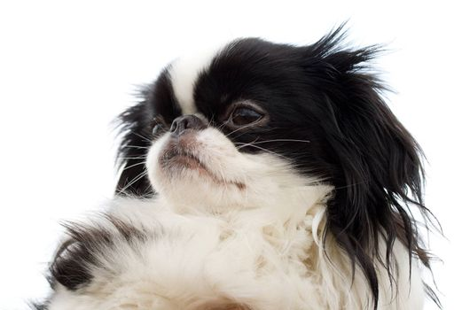close-up head of japanese chin puppy