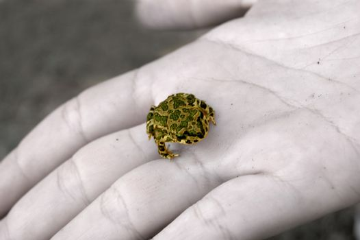 A little green frog in the palm of female hand
