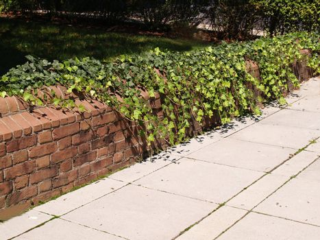 ivy growing on a low brick wall
