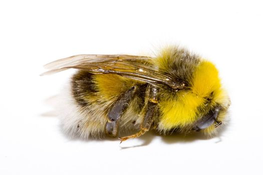 detail of a bumblebee (bombus) on the white background