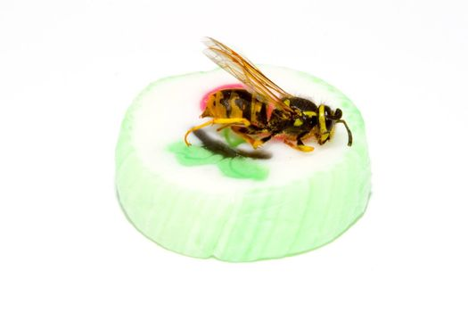 a common wasp on a piece of sweet candy - Vespula vulgaris