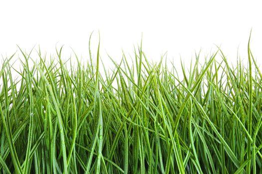 Tall wet grass against a white