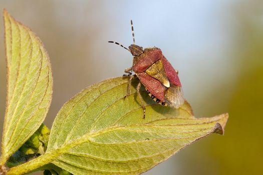 Shield bug tuning