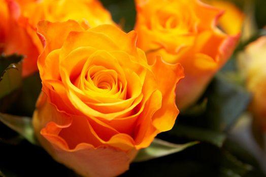 Orange roses background close up