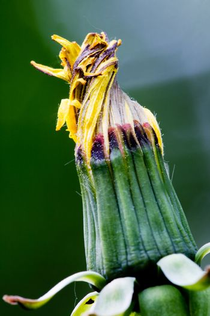 Dandelion bud
