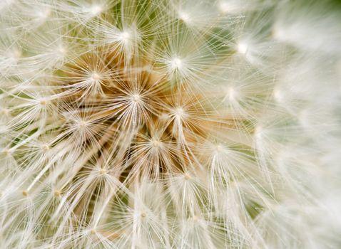 Dandelion seed background macro texture