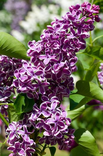 close-up branch of lilac
