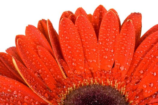 close-up part of red gerbera flower with water drops, isolated on white