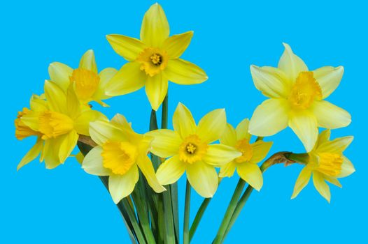 Isolated daffodils
