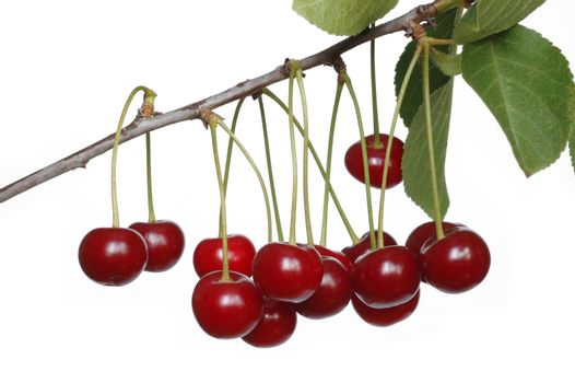 Isolated branch with cherries