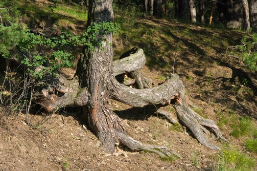 Pine tree with open curved roots