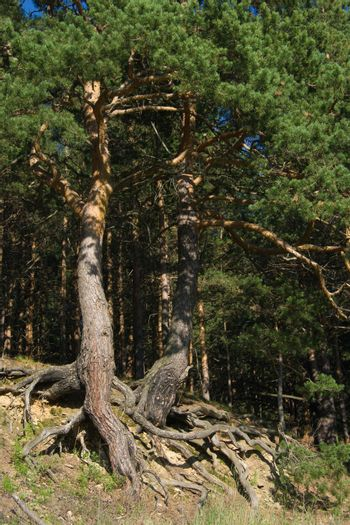 Pine trees with curved roots