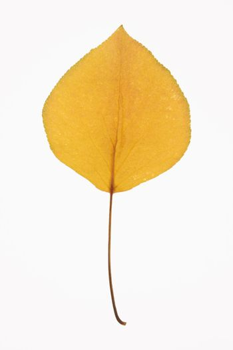 Bradford Pear leaf.