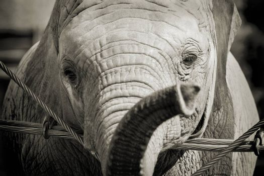 Close-up shot of a baby elephant's face in sepia