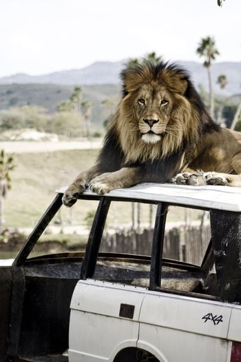 Male lion with mane on an abandoned vehicle outdoors.