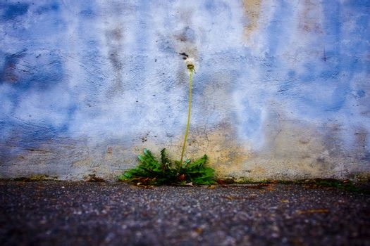 A dying dandelion growing out of a concrete corner at a sidewalk