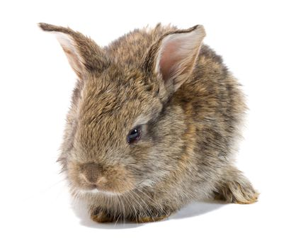 close-up small baby rabbit, isolated on white