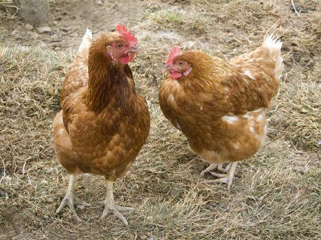 Free-range chicken on a farm