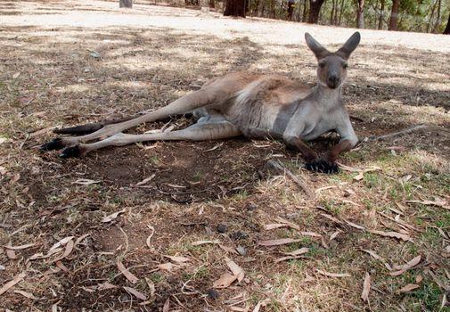 Kangaroo at rest