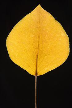 Yellow Bradford pear leaf.