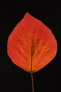 Red Bradford pear leaf.