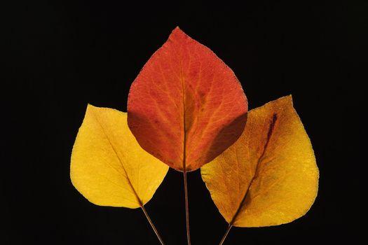 Bradford Pear leaves.