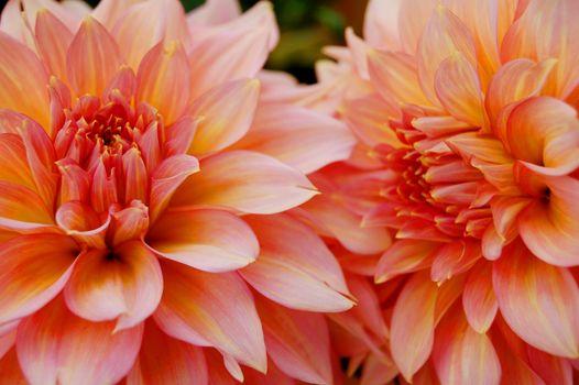 Beautiful pink dahlia