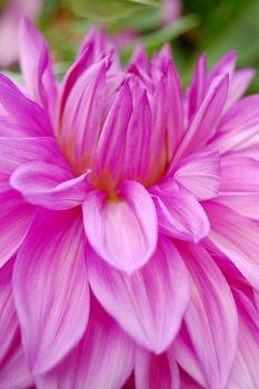 Beautiful purple dahlia