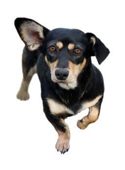 fun dachshund dog isolated on white