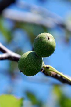wallnuts on a tree