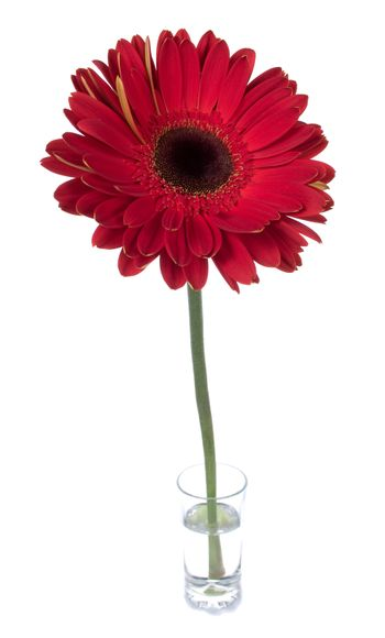 big red gerbera in glass with water, isolated on white