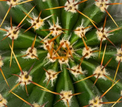 cactus texture view from above