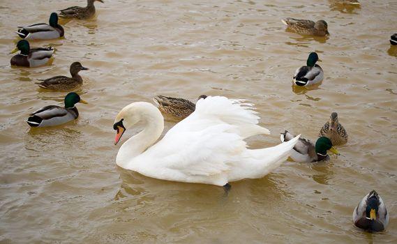 white swan swimming among ducks on lake