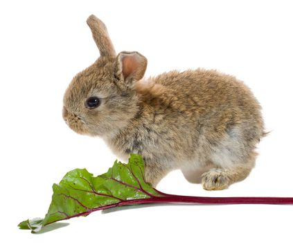 close-up bunny eating, isolated on white
